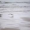 Good Harbor Beach: Three Bonaparte's Gulls, one starting to take off