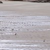 Good Harbor Beach: Four Semipalmated Plovers