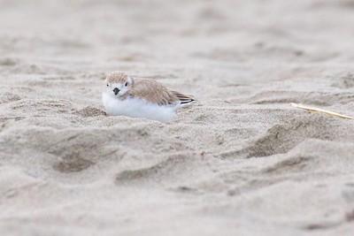 Little Chick on Good Harbor Beach 2017-07-29