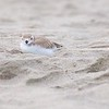 """Good Harbor Beach: Piping Plover """"Little Chick"""" resting on beach and looking at camera zoom"""