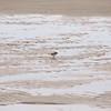 Good Harbor Beach: Semipalmated Plover