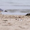 """Good Harbor Beach: Piping Plover """"Little Chick"""" walking on beach with Herring Gull in background"""