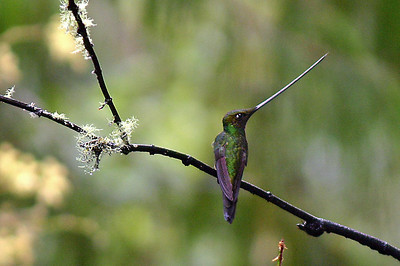 Male Sword-billed Hummingbird at Guango Lodge