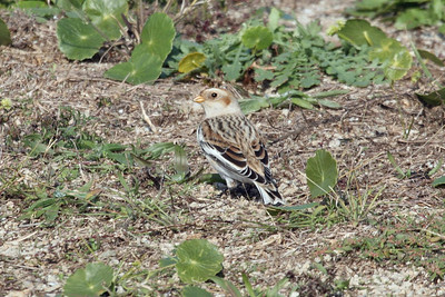Snow Bunting adult male basic 03 at Cape Hatteras, NC (November 10, 2007)