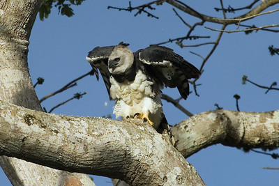 Harpy Eagle at nest (7) at Rio Grande, Venezuela