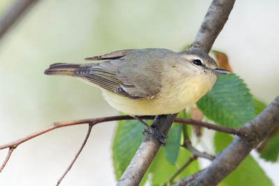 Philadelphia Vireo (2) at Radnor Lake