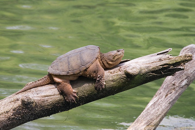 Common Snapping Turtle at Radnor Lake (5-12-07)