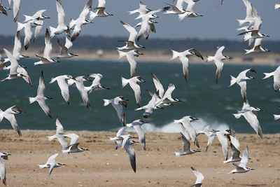Sandwich Terns 01 at Cape Hatteras, NC (November 10, 2007)