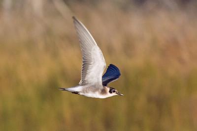 Black Tern juvenile 04 at Cape Hatteras, NC (September 02, 2007)