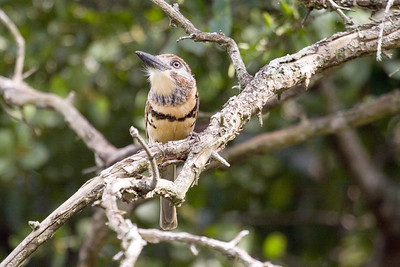 Russet-throated Puffbird (3) in Cachamay Park, Venezuela