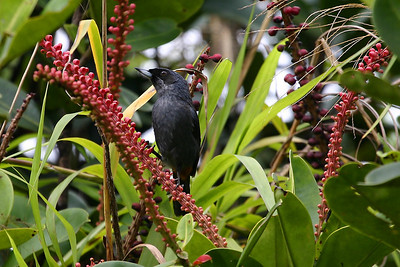 Greater Flowerpiercer (4) at Sierra de Lema, Venezuela