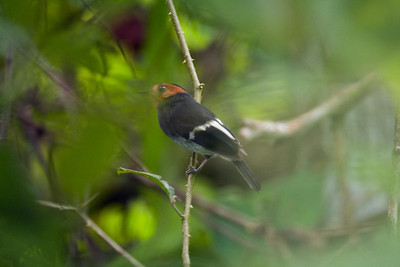Black-chested Tyrant male on an Orinoco River island, Delta Amacuro, Venezuela