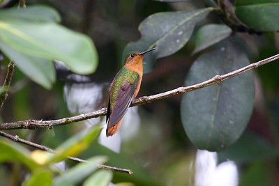 Rufous-breasted Sabrewing (3) at Sierra de Lema, Venezuela