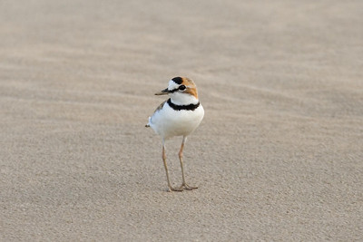 Collared Plover (2) at Orinoco River island, Delta Amacuro, Venezuela