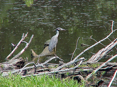 Yellow-crowned Night Heron at Mallory Avenue in Memphis (7-1-00)-1