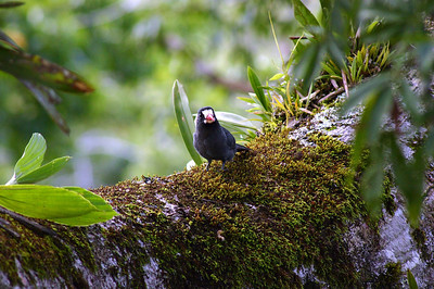 White-fronted Nunbird at Sacha Lodge