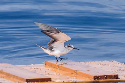 Bridled Tern first alternate off Hatteras, NC (8-5-07)