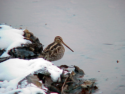 Wilson's Snipe at Old Hickory Lake (1-1-01)