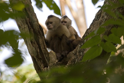 Weeping Capuchins at Cachamay Park, Venezuela