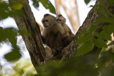 Weeping Capuchins at Cachamay Park, Venezuela