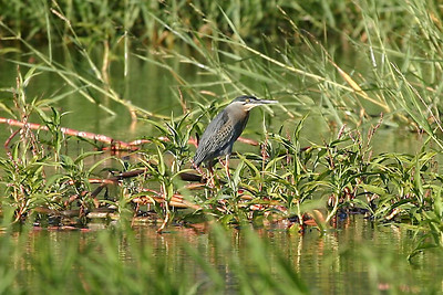 Striated Heron in Venezuela