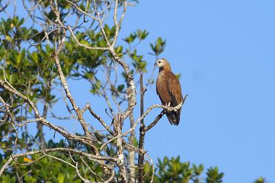Black-collared Hawk (2) at Cano Ajies, Venezuela