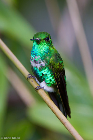 Emerald-bellied Puffleg at Owlet Lodge, Amazonas, Peru (06-30-2010) 283