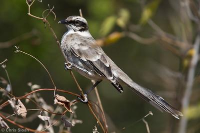 Long-tailed Mockingbird at Chaparri Reserve, Lambayeque, Peru (06-27-2010) 624