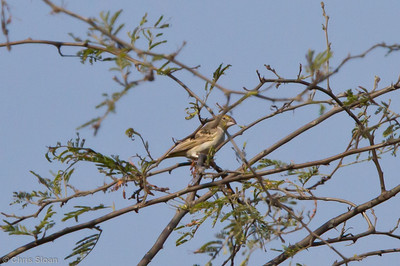 Sulphur-throated Finch at Chaparri Reserve, Lambayeque, Peru (06-27-2010) 724