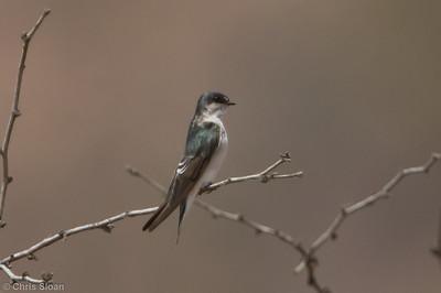 Tumbes Swallow at Bosque de Pomac, Lambayeque, Peru (06-26-2010) 200-Edit