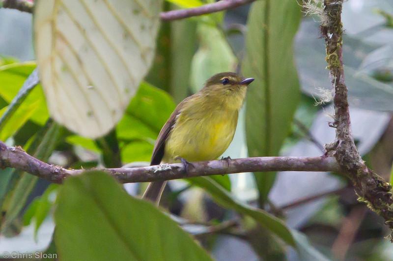 Sulphur-bellied Tyrannulet at Abra Patricia, Amazonas, Peru (07-01-2010)-2