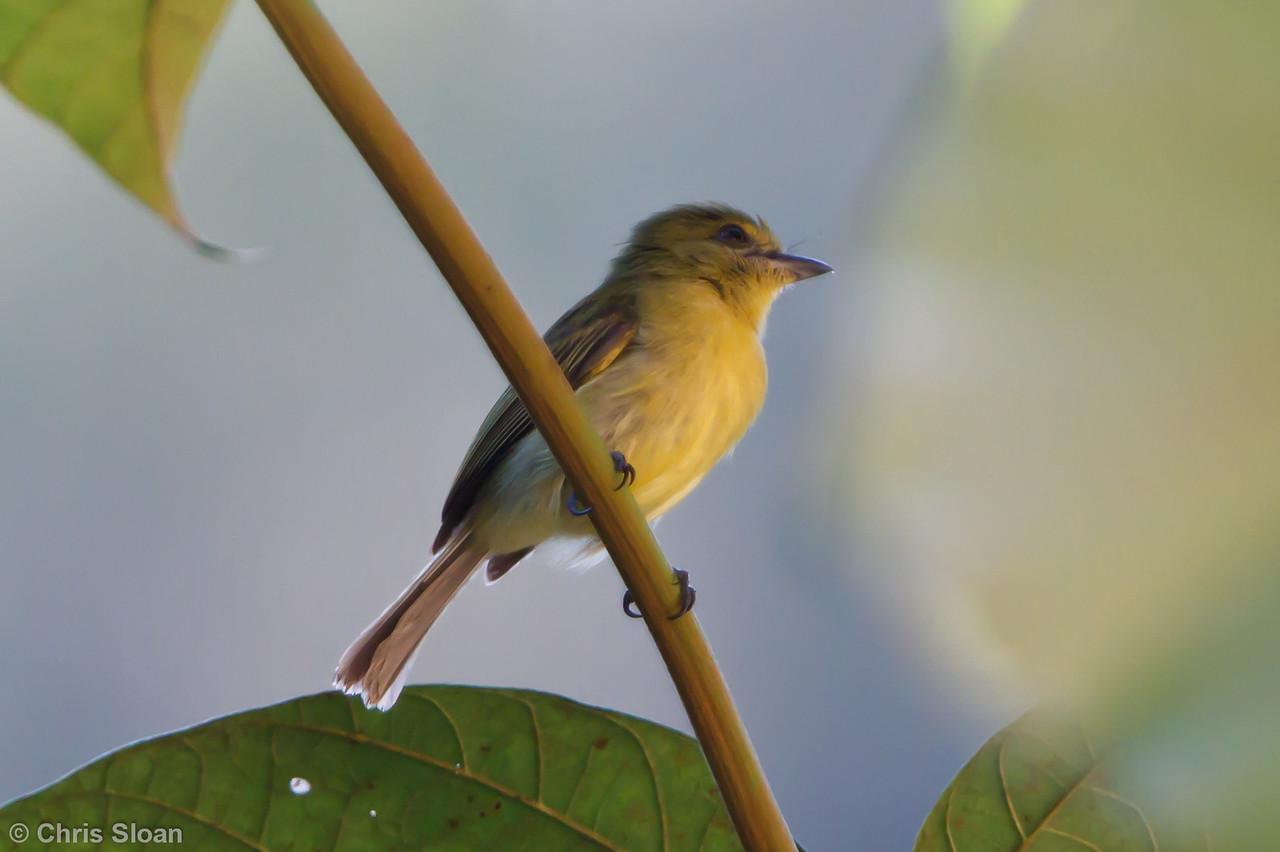 Yellow-breasted Flycatcher at Juan Guerra, Tarapoto, Peru (07-04-2010)-59