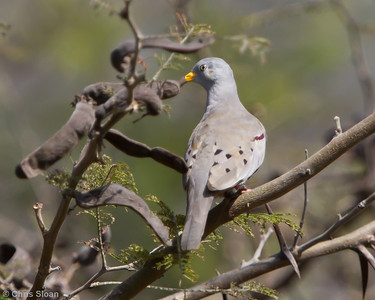 Croaking Ground-Dove at Chaparri Reserve, Lambayeque, Peru (06-27-2010) 605