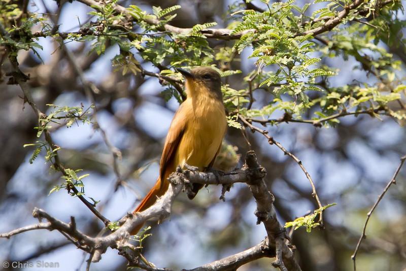 Rufous Flycatcher at Bosque de Pomac, Lambayeque, Peru (06-26-2010) 106-Edit
