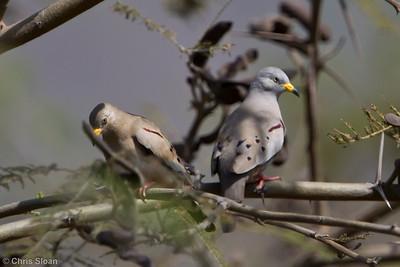 Croaking Ground-Dove at Chaparri Reserve, Lambayeque, Peru (06-27-2010) 613-Edit
