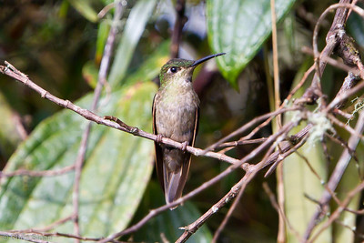 Pink-throated Brilliant immature at Owlet Lodge, Amazonas, Peru (06-30-2010) 246