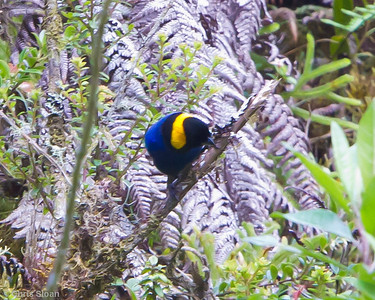 Yellow-scarfed Tanager at Abra Patricia, Amazonas, Peru (07-01-2010)-1