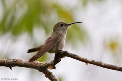 Spot-throated Hummingbird at Gotas de Agua, Cajamarca, Peru (06-29-2010) 901