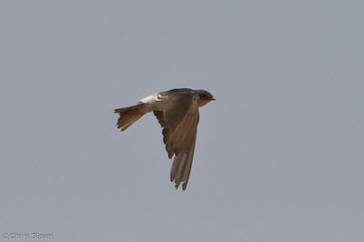 Tumbes Swallow at Bosque de Pomac, Lambayeque, Peru (06-26-2010) 182-Edit
