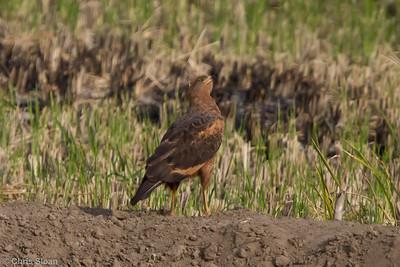 Savanna Hawk at Bosque de Pomac, Lambayeque, Peru (06-26-2010) 264-Edit