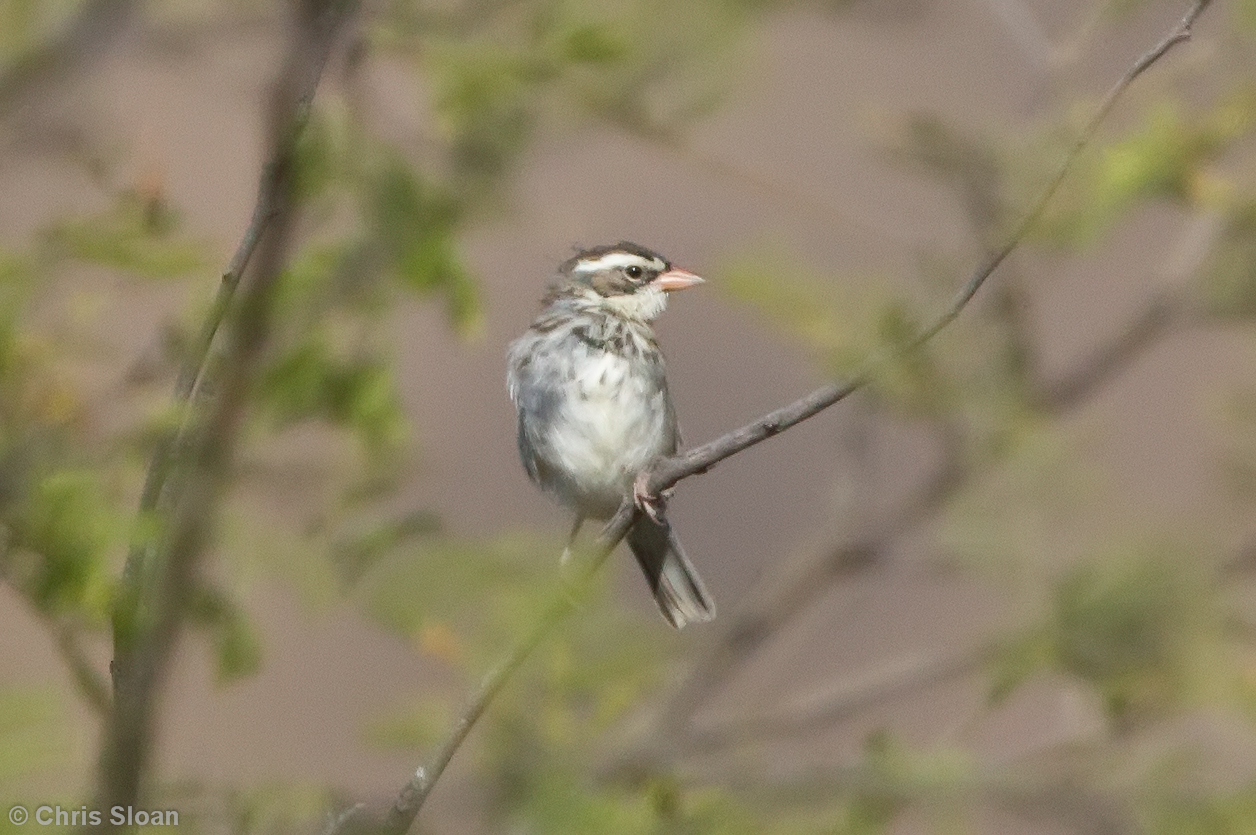 Collared Warbling-Finch female at Chaparri Reserve, Lambayeque, Peru (06-27-2010) 569-Edit
