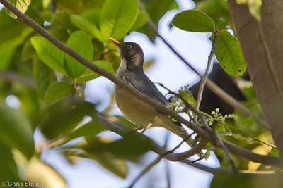 Plumbeous-backed Thrush at Chaparri Reserve, Lambayeque, Peru (06-27-2010) 535