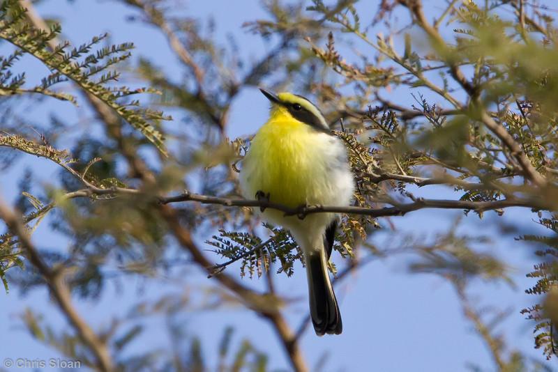 Tumbes Tyrant at Chaparri Reserve, Lambayeque, Peru (06-27-2010) 509-Edit