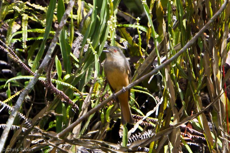Rufous-tailed Tyrant at Abra Patricia, Amazonas, Peru (07-01-2010)-14