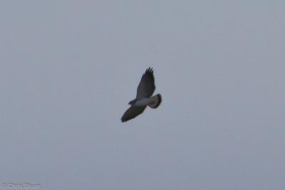 Variable Hawk (Puna Hawk) at Abra Porculla, Peru (06-28-2010) 748