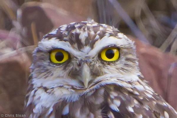 Burrowing Owl at Bosque de Pomac, Lambayeque, Peru (06-26-2010) 278-Edit-2