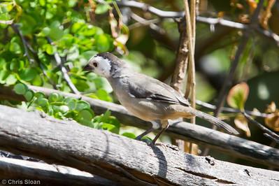 White-headed Brush-Finch at Chaparri Reserve, Lambayeque, Peru (06-27-2010) 683