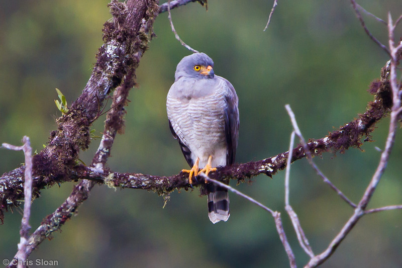 Roadside Hawk to Aguas Verdes, Cajamarca, Peru (07-02-2010)-1