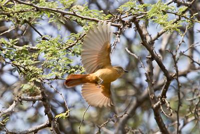 Rufous Flycatcher at Bosque de Pomac, Lambayeque, Peru (06-26-2010) 114-Edit