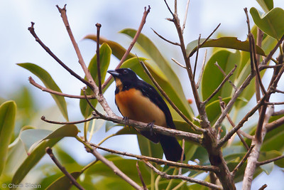 Yellow-crested Tanager at La Escalera including Tunnel Area, Tarapoto, Peru (07-03-2010) 250